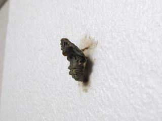 ジャコウアゲハ 蛹 羽化寸前